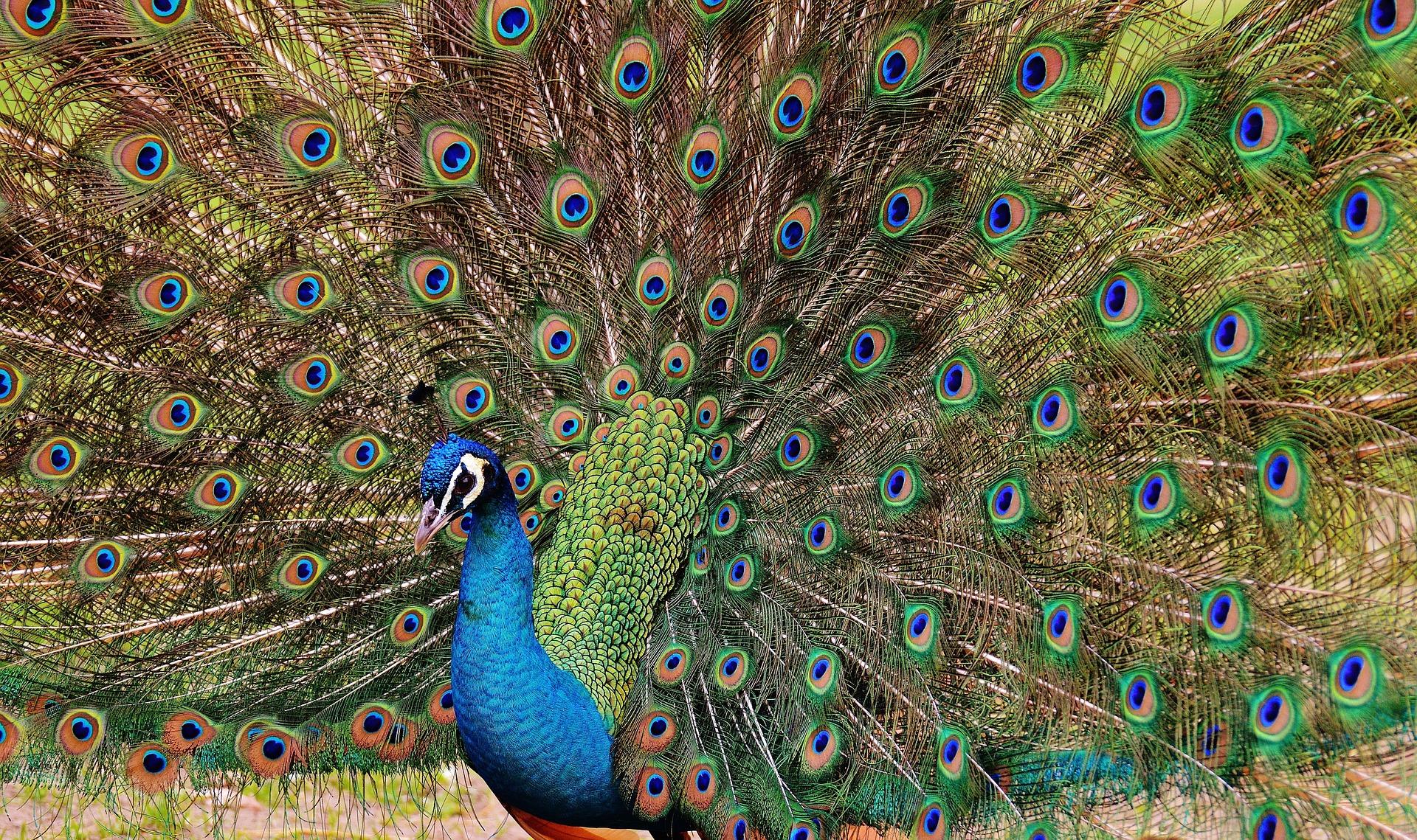 peacock-1312431_1920